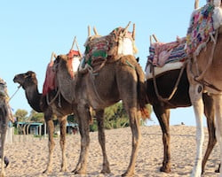 Camels Ready For Tourist Beach Tour, Morocco