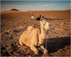 Camel Resting at Merzouga Luxury Desert Camp, Morocco