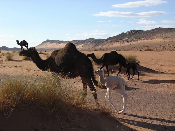 camel-trek-sahara-morocco-www.moroccanjourneys.com